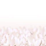 Açafrão branco Imagens de Stock