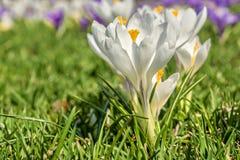 Açafrão branco no gramado verde Imagem de Stock