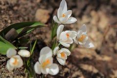 Açafrão branco no jardim da primavera Imagem de Stock Royalty Free
