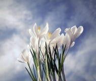 Açafrão branco, pressagio da mola Imagem de Stock Royalty Free