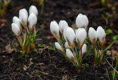 Açafrão branco que cresce da terra fora Imagens de Stock