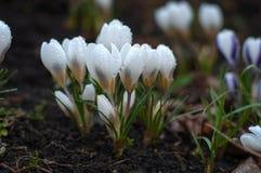 Açafrão branco que cresce da terra fora Imagem de Stock