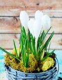 Açafrão branco que floresce no potenciômetro Fotografia de Stock