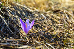 Açafrão Carpathian no prado Fotografia de Stock