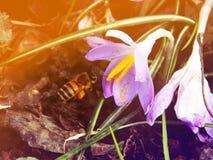 Açafrão colorido na primavera do março Imagem de Stock Royalty Free