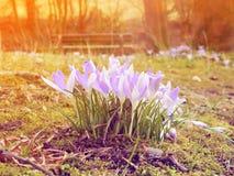 Açafrão colorido na primavera do março Fotografia de Stock Royalty Free