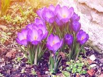 Açafrão colorido na primavera do março Fotografia de Stock