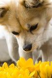 Açafrão com chihuahua Fotos de Stock