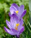 Açafrão com pingos de chuva Imagem de Stock