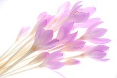 Açafrão cor-de-rosa Imagem de Stock Royalty Free
