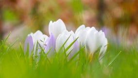 Açafrão cor-de-rosa branco Fotografia de Stock