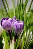 Açafrão da flor Imagens de Stock Royalty Free