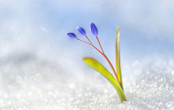 Açafrão da flor da mola Fotografia de Stock Royalty Free