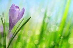 Açafrão da flor da mola Fotos de Stock Royalty Free