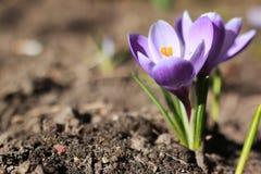 Açafrão da flor da mola Foto de Stock