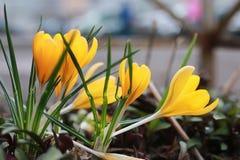Açafrão da flor da mola Foto de Stock Royalty Free