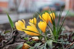Açafrão da flor da mola Imagens de Stock