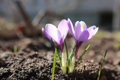 Açafrão da flor da mola Fotografia de Stock