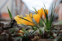 Açafrão da flor da mola Imagens de Stock Royalty Free