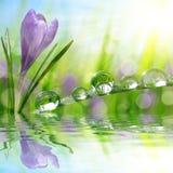 Açafrão da flor da mola e grama verde com gotas da água Fotos de Stock Royalty Free