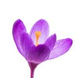 Açafrão da flor da mola isolado Fotografia de Stock Royalty Free