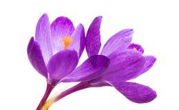 Açafrão da flor da mola isolado Fotos de Stock