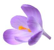 Açafrão da flor da mola isolado Fotografia de Stock