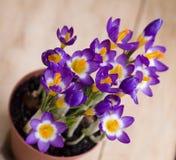Açafrão da flor da mola no potenciômetro Fotos de Stock