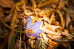 Açafrão da flor da montanha em um raio de luz Foto de Stock
