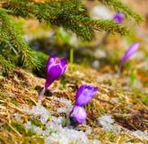 Açafrão da flor na mola Fotos de Stock Royalty Free