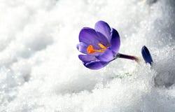 Açafrão da flor na neve Fotos de Stock