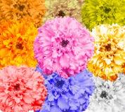 Açafrão da flor no branco Imagens de Stock