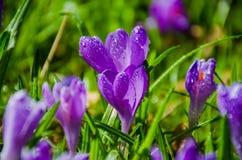 Açafrão da flor selvagem Imagem de Stock