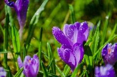 Açafrão da flor selvagem Imagens de Stock Royalty Free