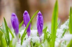 Açafrão da flor selvagem Foto de Stock Royalty Free