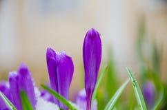 Açafrão da flor selvagem Foto de Stock