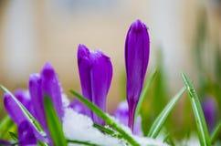 Açafrão da flor selvagem Fotografia de Stock Royalty Free