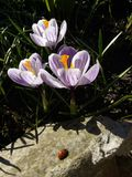 açafrão Açafrão da mola com o joaninha na luz da arte da luz solar Cor original da flor do açafrão da mola no jardim Nenhum proce Fotografia de Stock Royalty Free