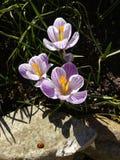 açafrão Açafrão da mola com o joaninha na luz da arte da luz solar Cor original da flor do açafrão da mola no jardim Nenhum proce Fotografia de Stock