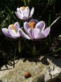 açafrão Açafrão da mola com o joaninha na luz da arte da luz solar Cor original da flor do açafrão da mola no jardim Nenhum proce Imagens de Stock