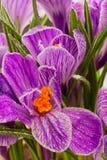 Açafrão da mola do Lilac Imagens de Stock