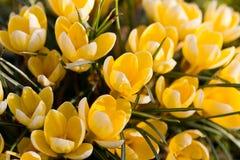 Açafrão da mola em um prado Imagens de Stock Royalty Free