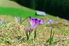 Açafrão da mola em um prado da montanha Fotografia de Stock Royalty Free