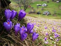 Açafrão da mola na aldeia da montanha Imagens de Stock Royalty Free