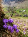 Açafrão da mola na aldeia da montanha Imagem de Stock Royalty Free