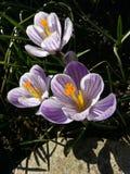 açafrão Açafrão da mola na luz da arte da luz solar Cor original da flor do açafrão da mola no jardim Nenhum processo do cargo Mi Fotos de Stock