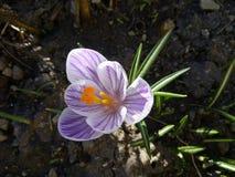açafrão Açafrão da mola na luz da arte da luz solar Cor original da flor do açafrão da mola no jardim Nenhum processo do cargo Mi Imagem de Stock