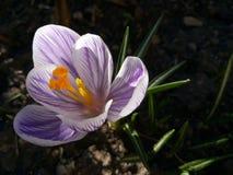 açafrão Açafrão da mola na luz da arte da luz solar Cor original da flor do açafrão da mola no jardim Nenhum processo do cargo Mi Foto de Stock Royalty Free