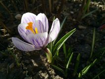 açafrão Açafrão da mola na luz da arte da luz solar Cor original da flor do açafrão da mola no jardim Nenhum processo do cargo Mi Foto de Stock