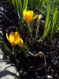 açafrão Açafrão da mola na luz da arte da luz solar Cor original da flor do açafrão da mola no jardim Nenhum processo do cargo Mi Imagens de Stock Royalty Free